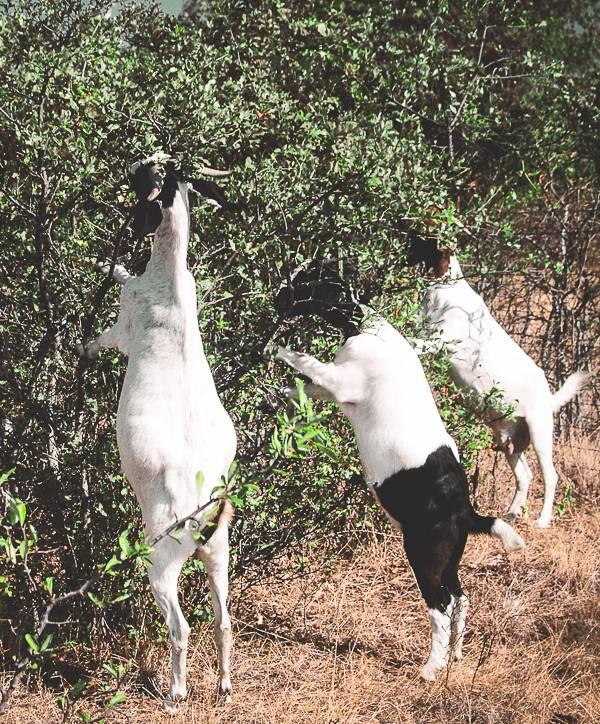 Goats browsing shrubs